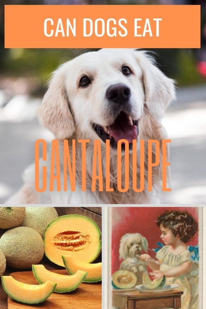 Can Dogs Have Cantaloupe Dogs can eat cantaloupe and other melons safely in small quantities. canine prime